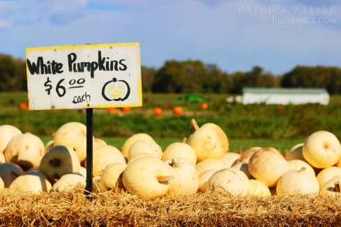 White Pumpkins from Rombachs Farm, pumpkin patch, big seance